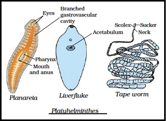 Biology Platyhelminthes And Aschelminthes