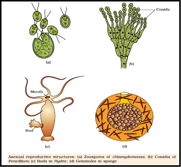 Gemmule formation asexual reproduction in fungi
