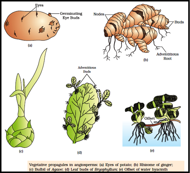 Potato vegetative propagation asexual reproduction