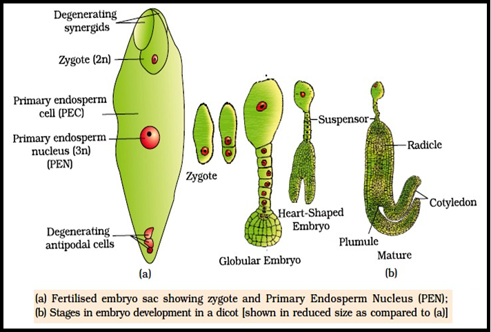 Biology POST FERTILISATION EVENTS: ENDOSPERM AND EMBRYO