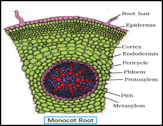 Biology DICOT AND MONOCOT ROOT