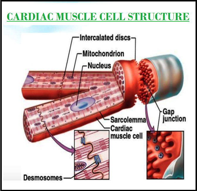 Biology MUSCLE TISSUE