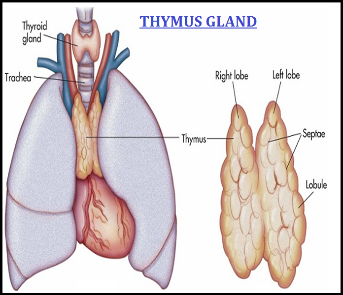 Biology The Thymus And Adrenal Glands